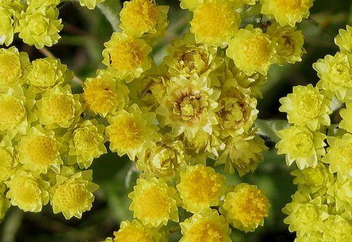 Цветки бессмертника
