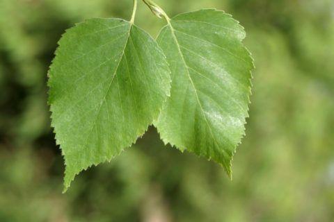 Для приготовления мази следует использовать только молодые березовые листочки.