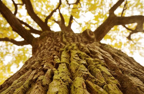 Дуб – это многовековое дерево