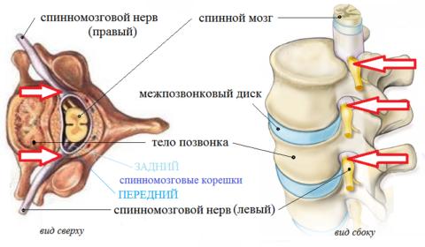 Из спинного мозга, через фораминальные отверстия, выходят 31(32) пара спинных нервов
