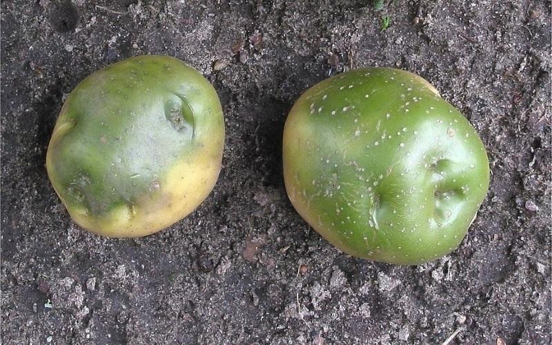 Клубни картофеля могут зеленеть