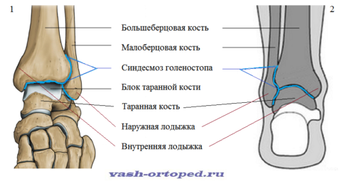 Кости голеностопного сустава: вид спереди-сверху (1), вид сзади (2)