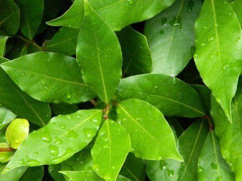 Лавровые листья – источник массы полезных веществ и микроэлементов.