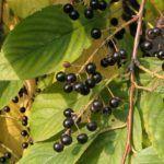 Настой листьев черемухи используют в качестве примочек на суставы