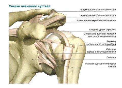 Плечевой сустав имеет шаровидную форму.