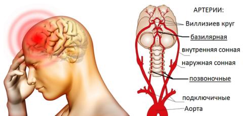 По позвоночным артериям в головной мозг поступает 20% необходимой для него крови