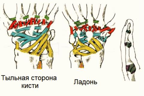 Схематическая анатомия связок кисти и пальца руки
