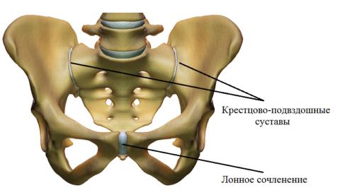 Сочленения пояса нижних конечностей (таза)