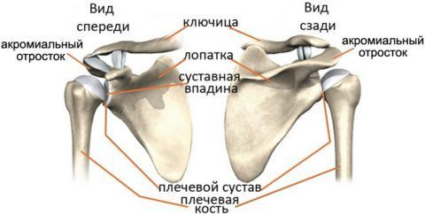 Строение плечевого сустава сложно