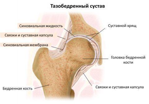 Строение тазобедренного сустава, анатомия
