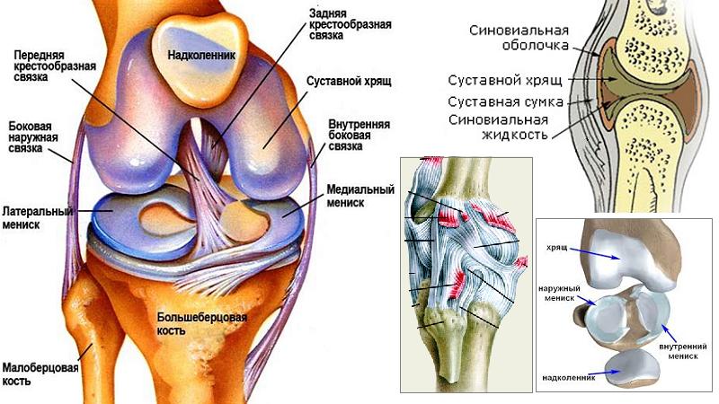 Мениски, связки, суставные хрящи, и капсула (сумка) и синовиальная оболочка колена