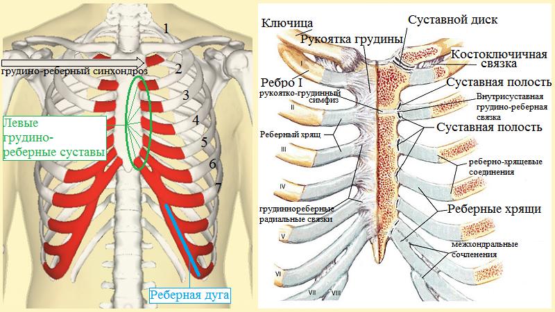 Анатомия сочленений ребер с грудиной